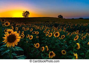 coucher soleil, tournesols, backlit