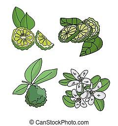 couleur, citrus, ensemble, vert, fruits, tranches, brindille, feuilles, plante, fleurir, bergamote, parties