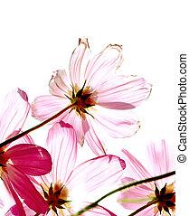 coup, coloré, fuchsia, isolé, studio, fond, cosmos, fleurs, blanc