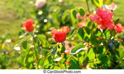 coup, jardin, ensoleillé, brouillé, roses, defocused, jour, vent