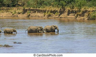 coup, mara, éléphants, long, troupeau, croisement, rivière, commencer