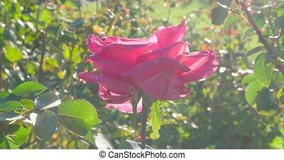 coup, rose, feuilles, ensoleillé, backlit, fleurs, jour