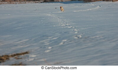 courant, chien, neige