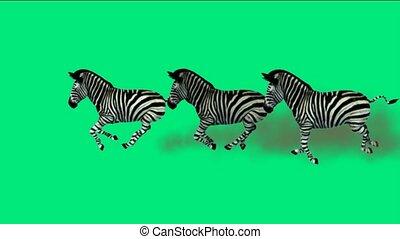 courant, zebra, groupe