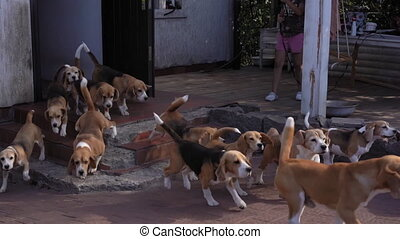 courtyard., lent, beagle, moving., frappé, ouverture, breed., dehors, porte, par, chiens, beaucoup