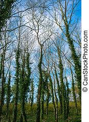 couvert, arbre, lierre