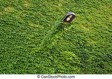 couvert, feuilles, mur, vert, lierre