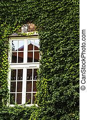 couvert vert, fenêtre, lierre