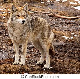 coyote, jour, printemps