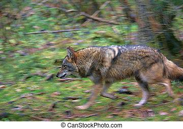 coyote, rôder