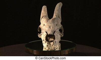 crâne, animal