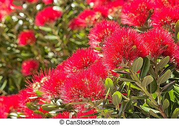 cramoisi, arbre, fleurs, fleur, pohutukawa