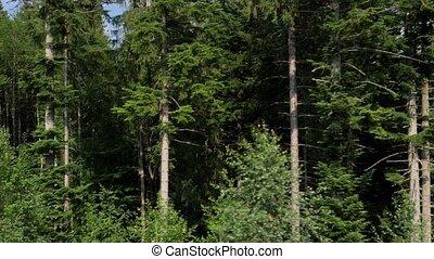 croissant, aérien, vieux, montagne, arbres, pin, côté, élevé, coup