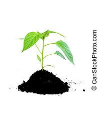 croissant, sol, plante, vert
