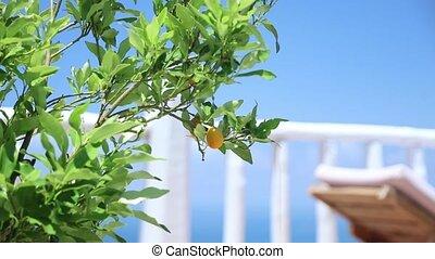 croissant, vert, extérieur, citronnier
