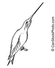 croquis, colibri