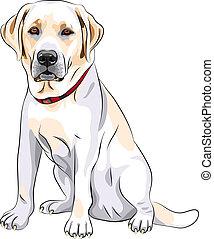 croquis, labrador, séance, race, chien, jaune, vecteur, retriever