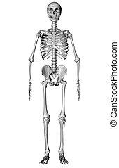 croquis, -, squelette