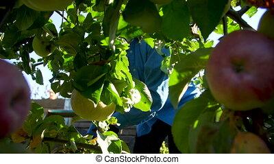cueillette, femmes, jardin, pommes, main