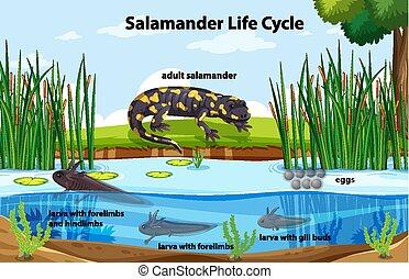 cycle, diagramme, salamandre, projection, vie