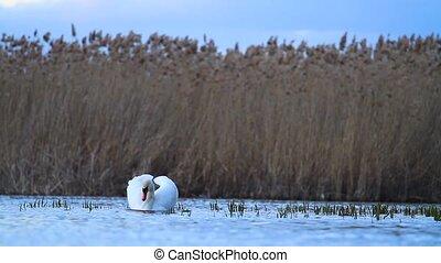 cygne, blanc, soir, lac, nage