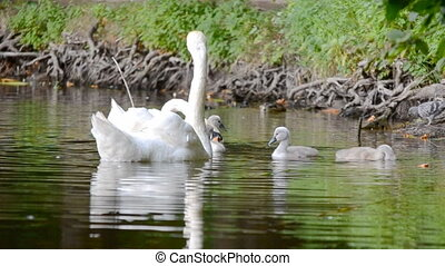 cygnes, lac, famille