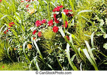 décoratif, arbrisseau, roses