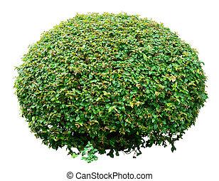 décoratif, buisson