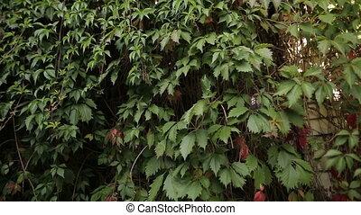 décoratif, jardin, sauvage, raisins verts, croissant