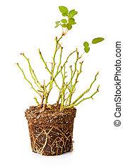 décoratif, rose, isolé, buisson, fond, blanc, racines