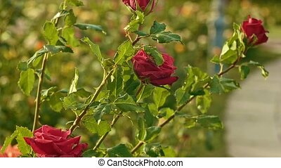 décoratif, roses, arbrisseau, jardin