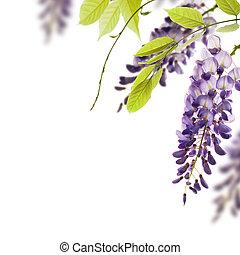 décoratif, wisteria, angle, feuilles, élément, fleurs, arrière-plan., blanc vert, frontière, sur, page