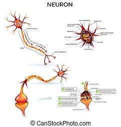 détaillé, anatomie, neurone