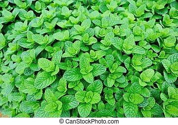 développé, légume, plante, menthe, garde