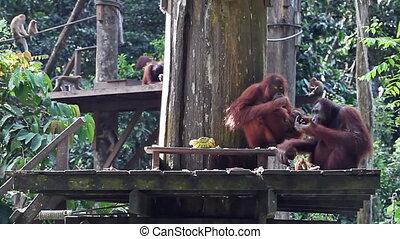 dîner, orang-outan, famille