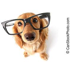 dachshund., rigolote