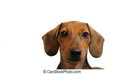 dachshund., tête, -, chiens, hd
