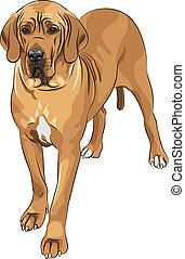 danois, grand, faon, race, vecteur, croquis, chien domestique