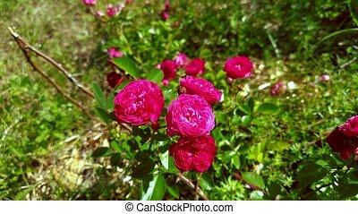 day., ensoleillé, rose, rose, jardin