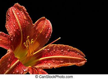 daylily, 08