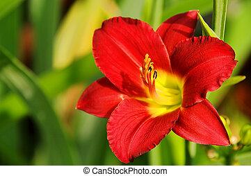 daylily, 10
