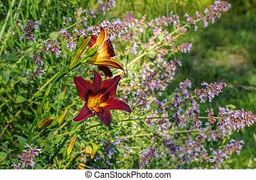 daylily, congo, espèce, beauté