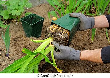 daylily, planter, 03