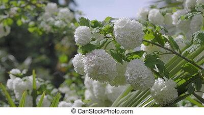 de, cranberrybush, ou, sterile., thickly, variétés, européen, opulus., neige, guelder, roseum, viburnum, boule, fleurir, rose