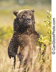 debout, brun, haut, ours