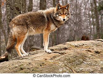 debout, coyote, rocher