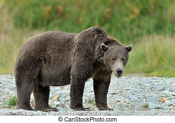 debout, grizzl, rivière, edge., ours