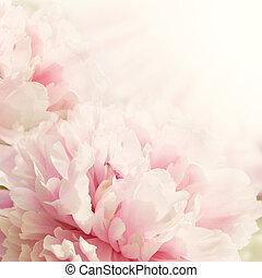 defocus, fleur, closeup, pivoine