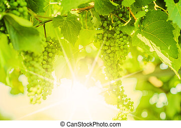 defocus, frais, vine., raisins verts