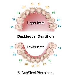dentaire, lait, notation, dents